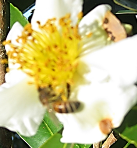 Bee on Gordonia